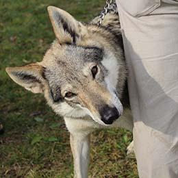 elevage chien loup Lons le Saunier