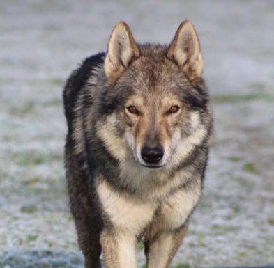 elevage chien loup Saône et Loire