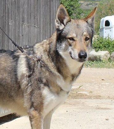 chiot chien loup tchécoslovaque Lons le saunier
