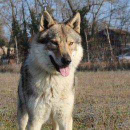 chien loup Saône et Loire