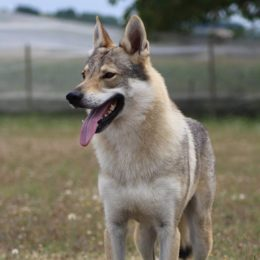 elevage chien loup macon