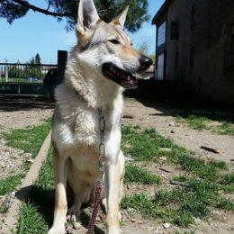chien loup tchécoslovaque