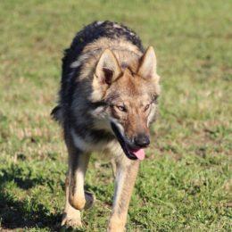 chiot chien loup Louhans